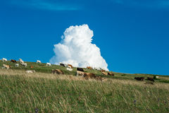 Cows grazing on a pasture with a fluffy cloud. stock photography
