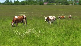 Cows grazing on pasture. Cows graze on a green pasture on a summer day. Herd cows on a summer pasture. 4K video stock video