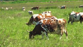 Cows grazing on pasture stock video footage
