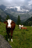 Cows grazing on a pasture Royalty Free Stock Photography