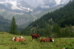 Cows grazing on a pasture Stock Photo