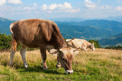 Cows grazing on pasture Royalty Free Stock Photo