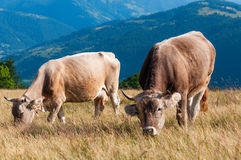 Cows grazing on pasture Royalty Free Stock Images