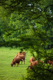 Cows grazing on a pasture Stock Images