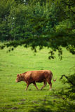 Cows grazing on a pasture Stock Photography