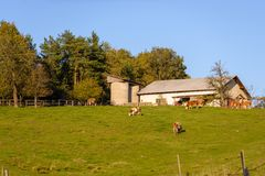 Cows grazing on pasture, meadow in front of barn Stock Photo