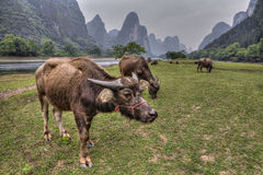 Cows grazing on pasture near Li River and karst hills. Royalty Free Stock Photography