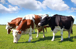 Cows grazing on pasture Royalty Free Stock Photos