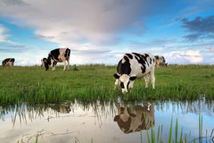 Cows grazing on pasture by river Stock Image
