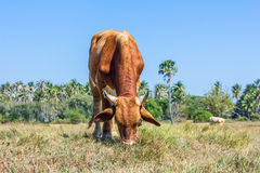 Cows grazing on a pasture in summer Royalty Free Stock Photography