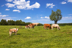 Cows grazing on pasture Stock Photos
