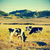 Cows grazing. Picture of some cows grazing in Menorca, Balearic islands, Spain, with a retro effect stock photo