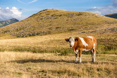 Cows grazing on the plateau of Campo Imperatore in the Abruzzo. Italy. A place at about 1600 meters high that for its beauty is often used as a location for Royalty Free Stock Photos
