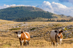 Cows grazing on the plateau of Campo Imperatore in the Abruzzo Royalty Free Stock Images