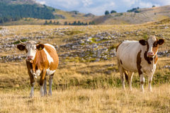 Cows grazing on the plateau of Campo Imperatore in the Abruzzo. Italy. A place at about 1600 meters high that for its beauty is often used as a location for Stock Photo
