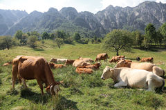 Cows grazing on the plateau near the Italian Alps in summer Stock Photos