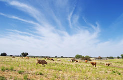 Cows grazing in the rural fields.Alentejo Region Royalty Free Stock Photography