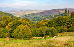 Cows grazing on rural fields in autumn. Cows grazing on rural fields near the forest with colorful foliage. great autumnal weather in countryside Royalty Free Stock Photo