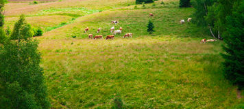 Cows grazing in Semenic Mountains Stock Images
