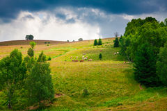 Cows grazing in Semenic Mountains Royalty Free Stock Photos