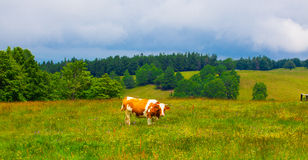 Cows grazing in Semenic Mountains Royalty Free Stock Image
