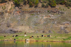 Cows grazing on shore near mountain Royalty Free Stock Image