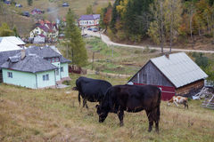 Cows grazing. Some cows on a mountain village Royalty Free Stock Photos