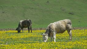 Cows Grazing on Spring Nature stock footage