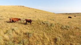 Cows Grazing on the Steppe Meadow Field. Beautiful Wild Nature Landscape Drone Footage. HD Aerial Slowmotion.