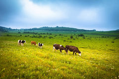 Cows grazing on a summer meadow Royalty Free Stock Image