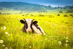 Cows grazing on a summer meadow Stock Photos