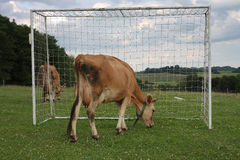 Cows grazing on a summer pasture between football goal Royalty Free Stock Photo