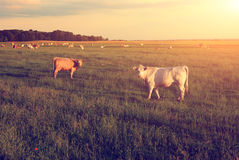 Cows. Grazing summer pasture sunset Stock Photos