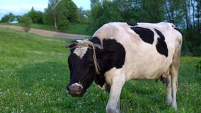 Cows grazing in a sunny lovey day. Farm cow eating grass. Close up of holstein cow eat grass. Farm cattle eating grass. stock footage