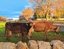 Cows grazing at sunset. Royalty Free Stock Images
