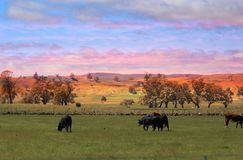 Cows Grazing at Sunset. Many small selective herbivores follow larger grazers, who skim off the highest, tough growth of plants, exposing tender shoots. For Royalty Free Stock Images