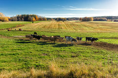 Cows grazing in the Swedish countryside of Ostergotland Royalty Free Stock Photos