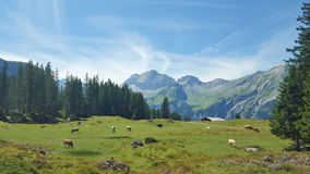 Cows grazing in Swiss Meadows. A herd of cows grazing in a lush green Swiss Meadows Royalty Free Stock Photo