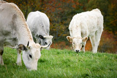 Cows grazing. A tranquil rural scene as dairy cows graze in a paddock stock photos