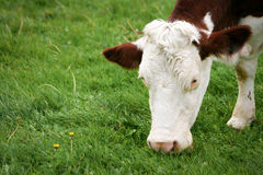 Cows grazing. A tranquil rural scene as dairy cows graze in a paddock Royalty Free Stock Photo