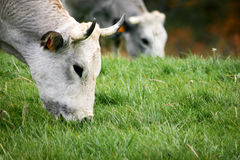 Cows grazing. A tranquil rural scene as dairy cows graze in a paddock Stock Image
