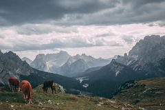 Cows. Grazing on Tre Cime, Italy Royalty Free Stock Photos