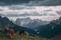Cows. Grazing in Tre Cime, Tretino, Italy Stock Photo