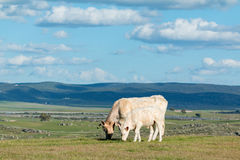 Cows grazing under a beautiful sky Royalty Free Stock Photos