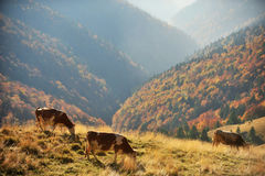 Cows grazing up the mountain in autumn Royalty Free Stock Photos