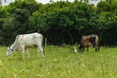 Cows grazing in an urban region. Florianópolis, Brazil - january, 2018. Cows grazing near some houses in an urban region with a white bird near there Stock Photo