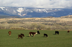 Cows Grazing in Utah Foothills. Near show-capped mountains Royalty Free Stock Photos