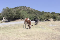 The cows at road on a sunny day Royalty Free Stock Image