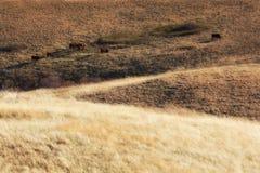 Cows grazing in western prairie Royalty Free Stock Image