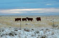 Cows grazing in a winter day Stock Image